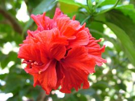 Hibiscus5 by RixResources