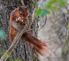 British Red Squirrel by wildbunchz