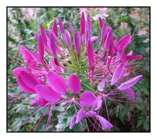 Cleome Spinosa by picworth1000wrds