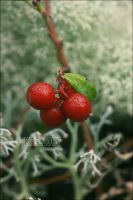 cowberry by hatred103