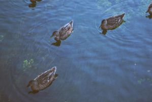 ducks. by hnji