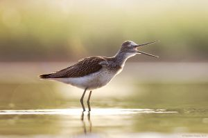 Common Greenshank by Sergey-Ryzhkov
