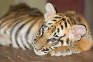 Daydreaming cub by AngiWallace