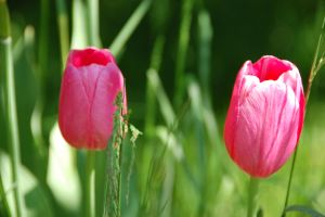 Tulips I by ByronGiant