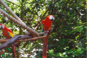 Some Scarlet Macaws by sideshowbobfanatic