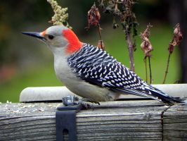 Red Bellied Woodpecker eating birdseed by Lou-in-Canada