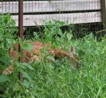Fawns in the Meadow 2 by Windthin