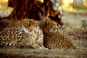Two Cheetahs 4 by Art-Photo