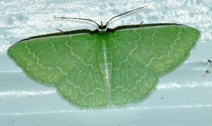 Southern Emerald - Synchlora frondaria by duggiehoo