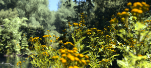 Tansy© by Massi-San
