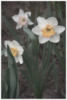 Narcissus by ViKey