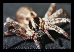WOLF SPIDER by Gil-Levy