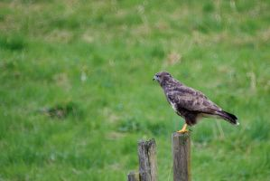 Common Buzzard by duncan-blues