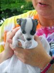 A Chihuahua Puppy by TheWizardofOzzy