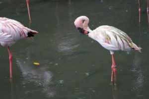 Lesser Flamingo by Roses-and-Feathers