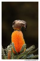Wattle Bird by TVD-Photography