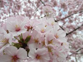 Cherry Blossoms 13 by zaphotonista