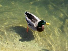 Duck by gromten