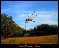 Calico Pennant Male 1 by GD-litenin