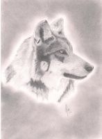 Mexican Wolf by reggy66