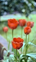Tulips in the garden by FrancescaDelfino