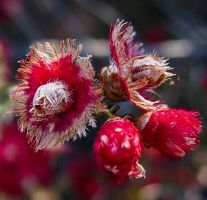 More Fluffy Red Native Flowers  by mikailium