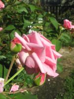 pink rose 01 by CotyStock