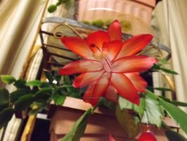 Christmas Cactus by tattooedmommee