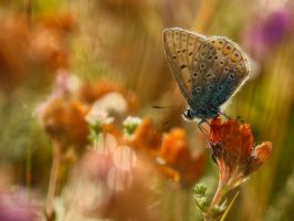 Polyommatus icarus 3 by Witoldhippie