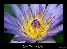 Shy Water Lily by ewm