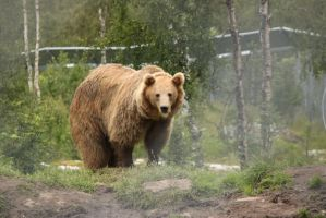 Bear Stock II by Aredelsaralonde