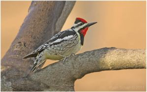 Yellow-bellied Sapsucker by Ryser915