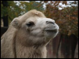 Bactrian camel by Sophie1990