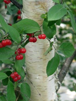 Birch and Berries by Nariane