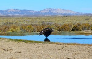 Golden Eagle in Desert by Halcyon1990