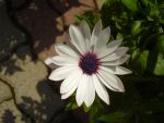 Osteospermum by Pentacle5