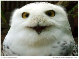 Happy Snowy Owl by In-the-picture
