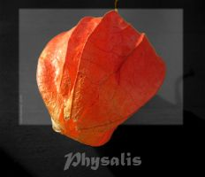 Physalis by WalkerGermany