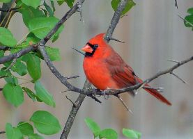 Male Cardinal 10-16-14 by Tailgun2009
