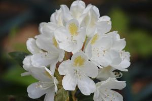 White Rhododendron by paws720