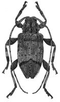 Astylopsis fascipennis by JoeMacGown
