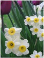 Narcissus jonquilla by wickedjess