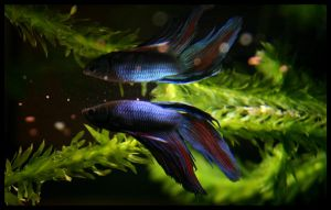Betta Splendens by fraziu by art4oceans