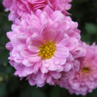 Chrysanthemum III by miss-gardener