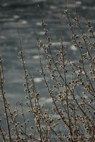 Willow Buds by melly4260
