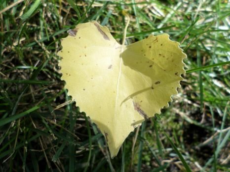 Heart Shaped Cottonwood Leaf 2 by Cynnamyn
