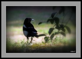 The magpie and his ceremonial costume by Hubert11