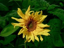 Sunflower by SweetSurrender13
