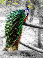 Peacock 2. by FervidsHand