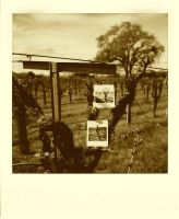 untitled, vineyard - in sepia by mgilpin